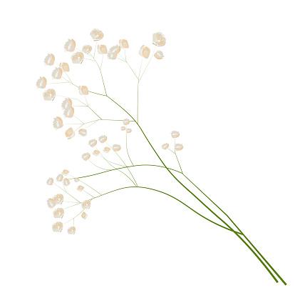 Gypsophila stock vector illustration.