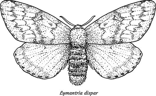 Gypsy moth illustration, drawing, engraving, ink, line art, vector