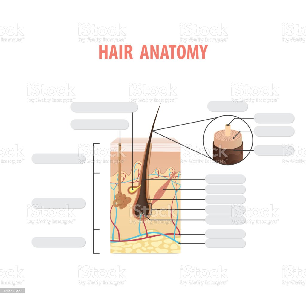 Hair Anatomy Blank Illustration Vector On White Background Madical