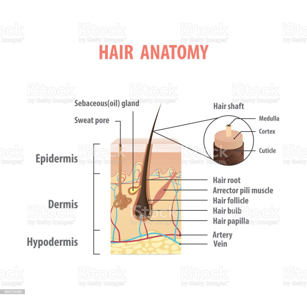 Hair Anatomy Illustration Vector On White Background Madical Concept
