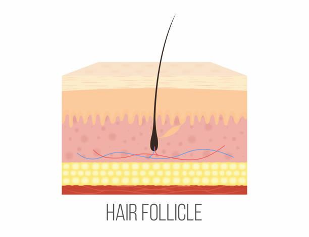 top 60 papilla clip art, vector graphics and illustrations ... cochlea hair cells diagram