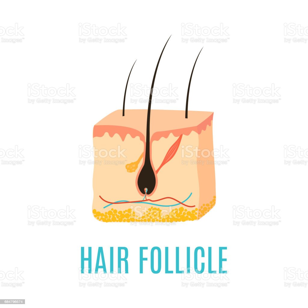 Royalty Free Hair Follicle Clip Art  Vector Images