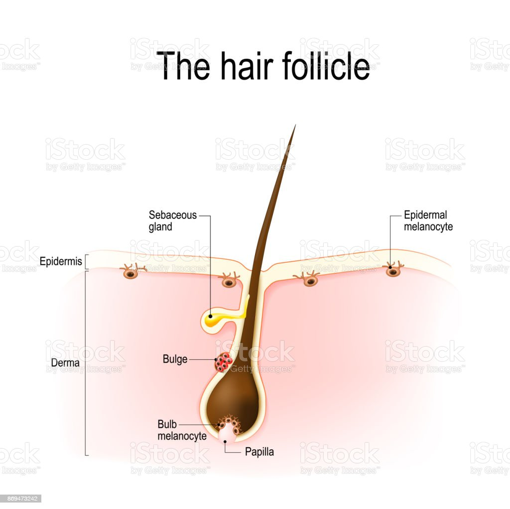Hair Follicle Stock Vector Art More Images Of Anatomy 869473242