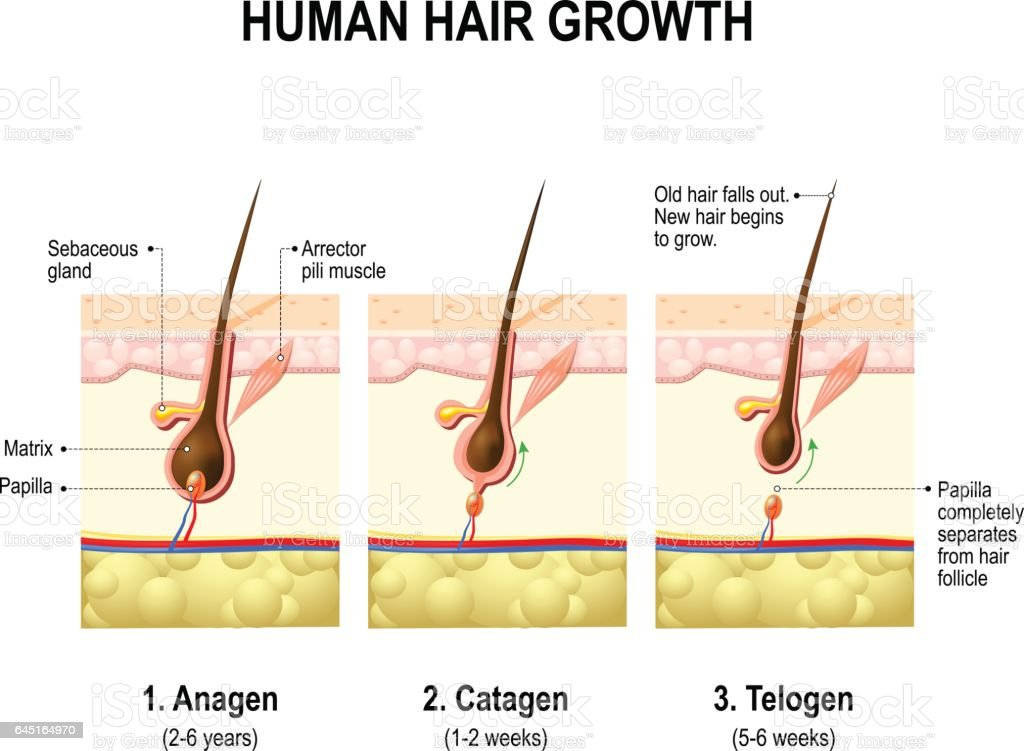 Hair growth. anagen, catagen and telogen vector art illustration