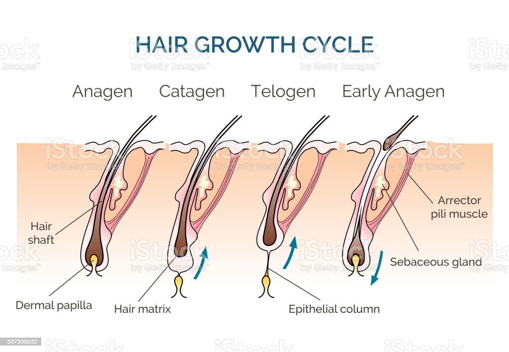 Hair growth cycle vector art illustration
