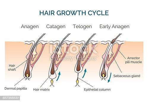Das Haarwachstum Zyklus Stock Vektor Art und mehr Bilder von ...