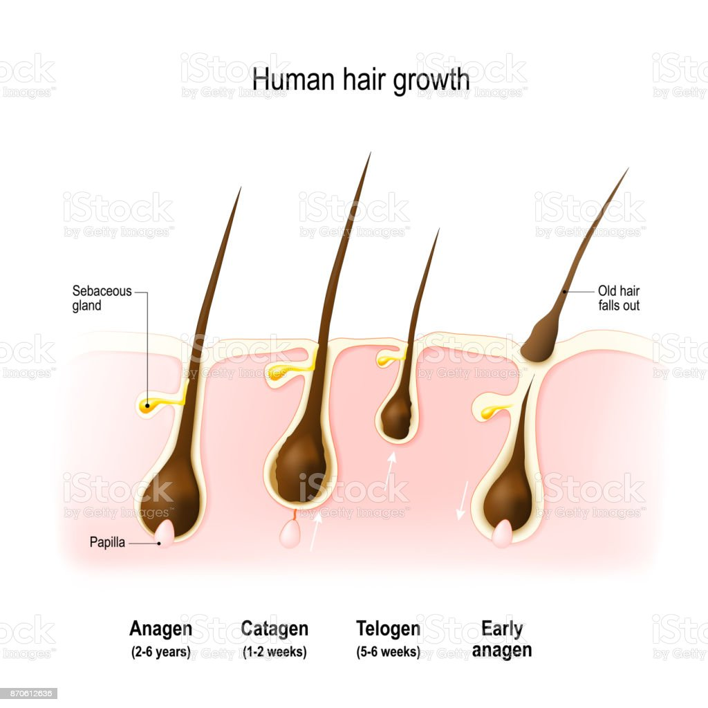 Hair growth cycle vector art illustration