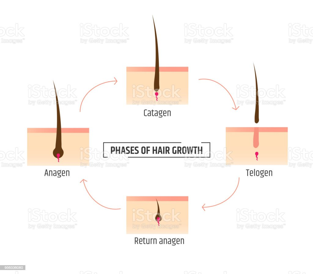 Hair Growth Phases Infographics Trichology And Dermatology Laser ...