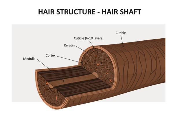 Hair structure Hair structure - vector illustration hair stock illustrations