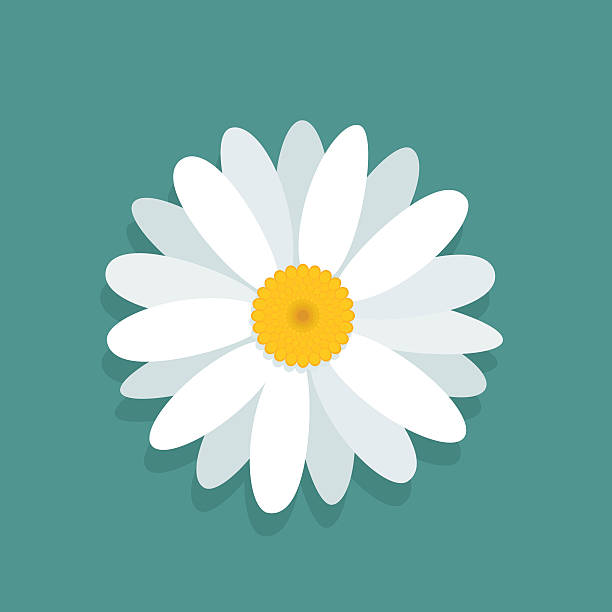 Сhamomile flower isolated on blue background Vector chamomile flower isolated on blue background  daisy stock illustrations