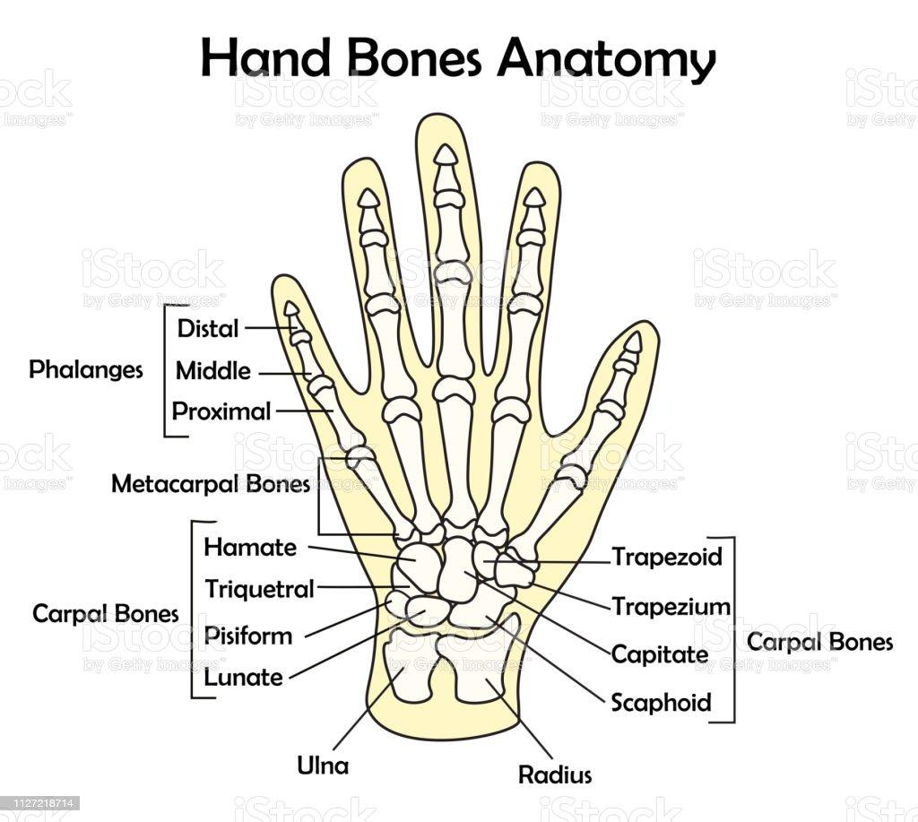 Hand Bone Anatomy With Detail Vector Illustration Stock Vector Art