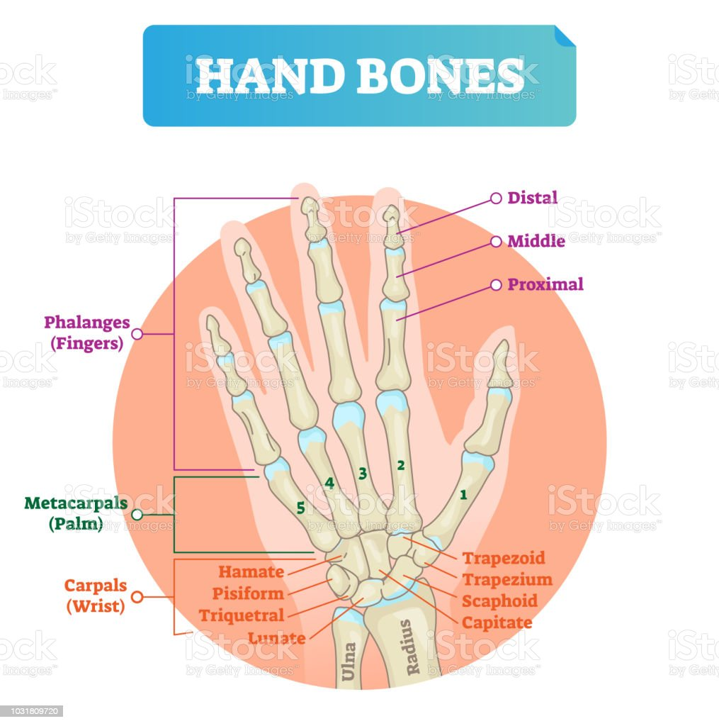 Hand Bones Vector Illustration Labeled Educational Arm Structure ...
