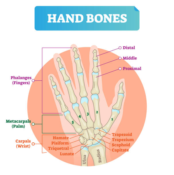 Royalty Free Navicular Bone Of Hand Clip Art Vector Images