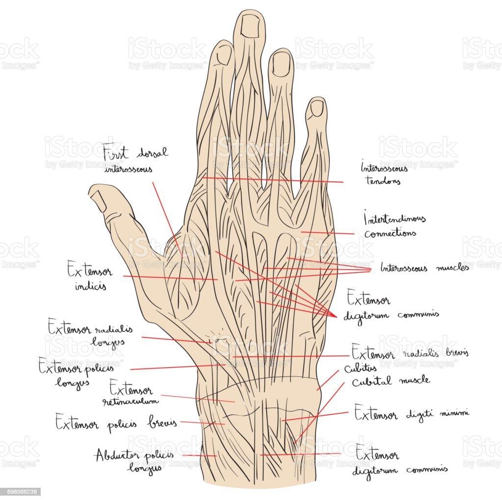 Dorsalen Handmuskeln Mit Text Stock Vektor Art und mehr Bilder von ...