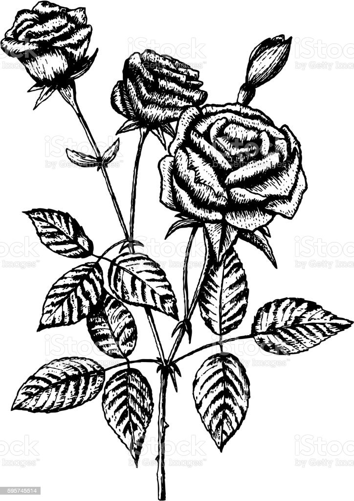 It's just an image of Declarative Rose Leaf Drawing
