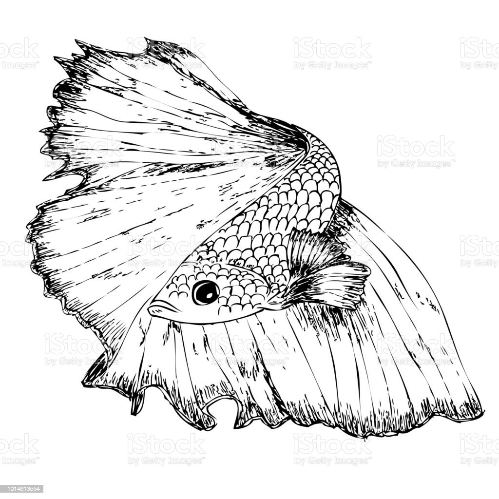 Hand Draw Sketch Of Beta Fish Stock Vector Art More Images Of