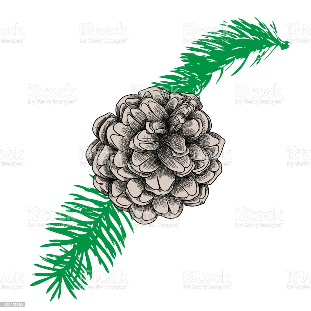 Hand Drawing Collection Of Pine Cone On The Tree Branch Forest ...