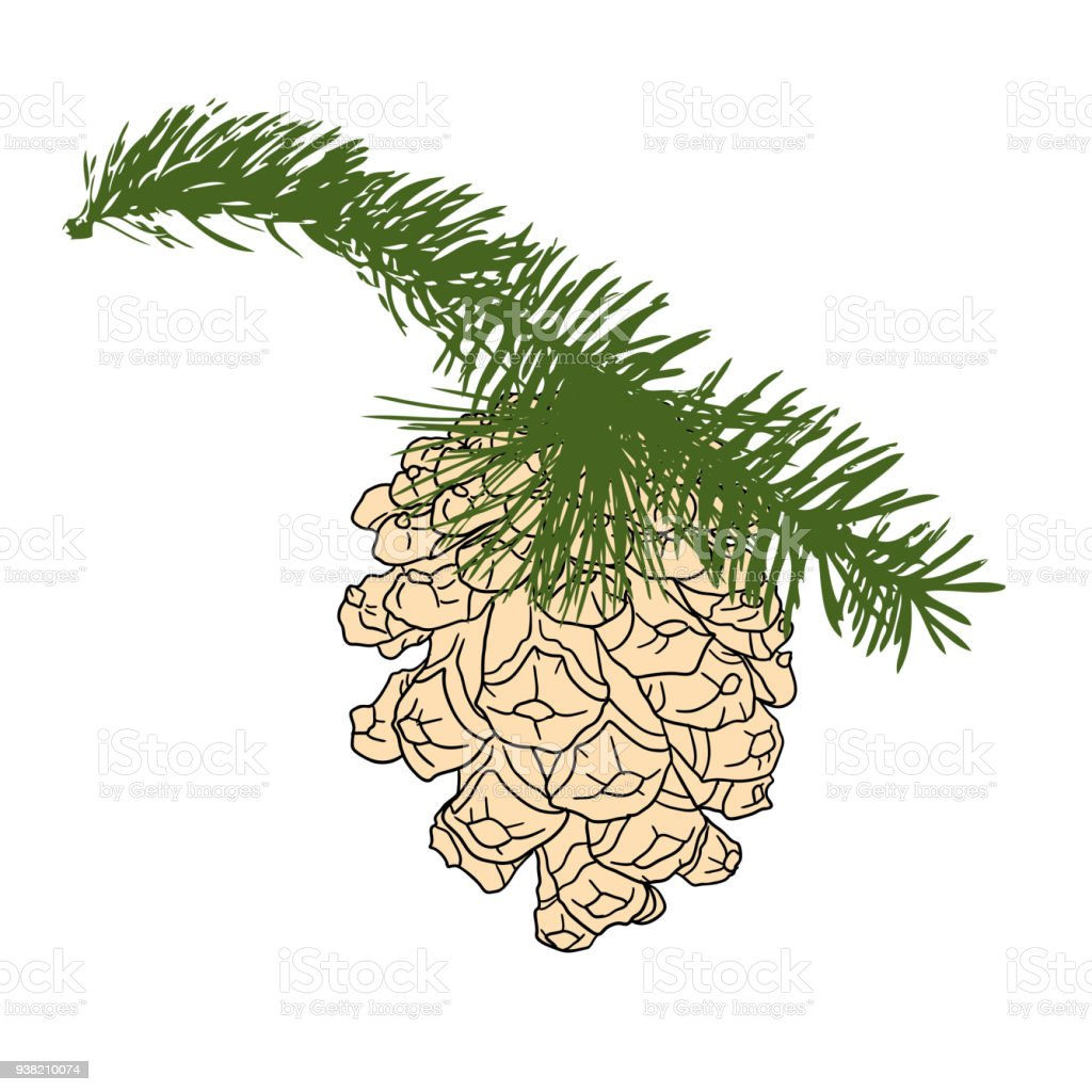 Hand Drawing Collection Of Pine Cone On The Tree Branch Forest Vintage Fir