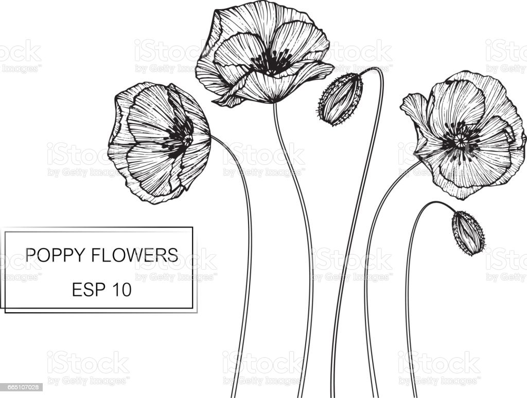 Hand Drawing Flowers Poppy Flower Vector Illustration And Clip Art