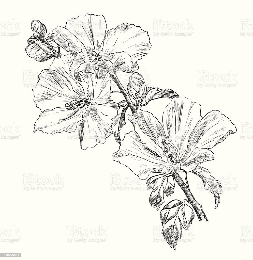 Dessin de fleurs dhibiscus la main cliparts vectoriels - Dessin d hibiscus ...