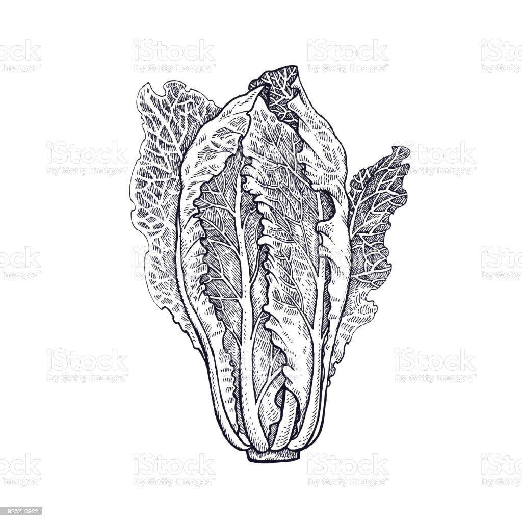 Mão de alface romana alface de desenho. - ilustração de arte em vetor