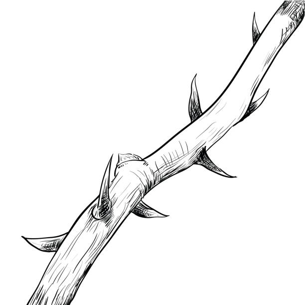 Hand drawing of thorn-vector Illustration Hand drawing of Thorn. Black and White simple line Vector Illustration for Coloring Book - Line Drawn Vector sharp stock illustrations