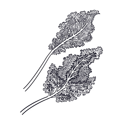 Hand drawing of vegetable Cabbage leaf.