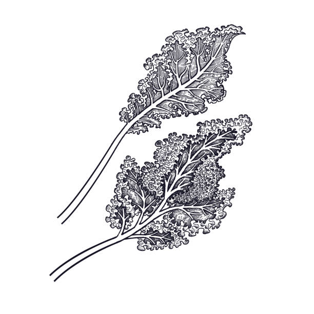Hand drawing of vegetable Cabbage leaf. Cabbage leaf. Hand drawing of vegetables. Vector art illustration. Isolated image of black ink on white background. Vintage engraving. Kitchen design for decoration recipes, menus, sign shops, markets kale stock illustrations