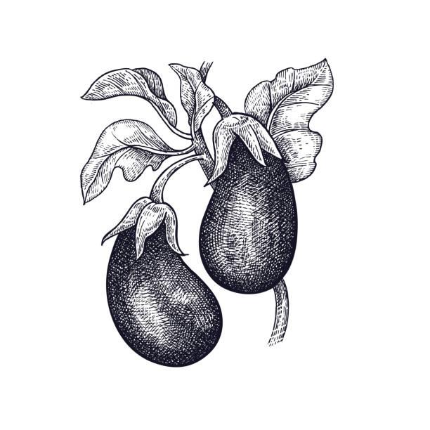 illustrazioni stock, clip art, cartoni animati e icone di tendenza di hand drawing of vegetable eggplant. - melanzane