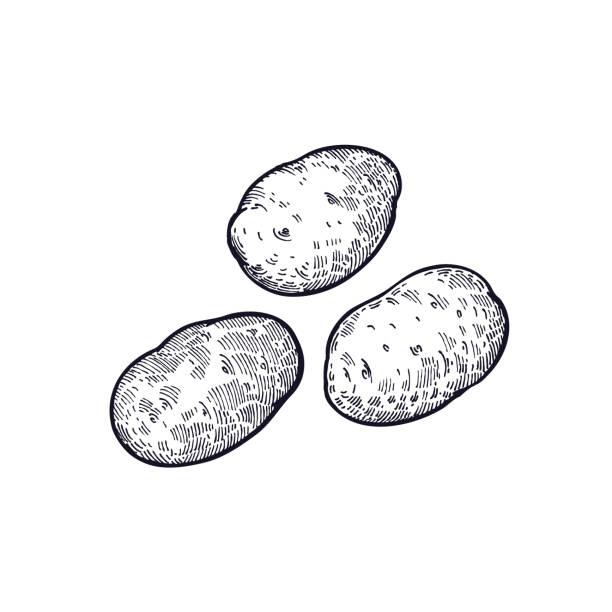 handzeichnung von gemüse kartoffeln. - kartoffeln stock-grafiken, -clipart, -cartoons und -symbole