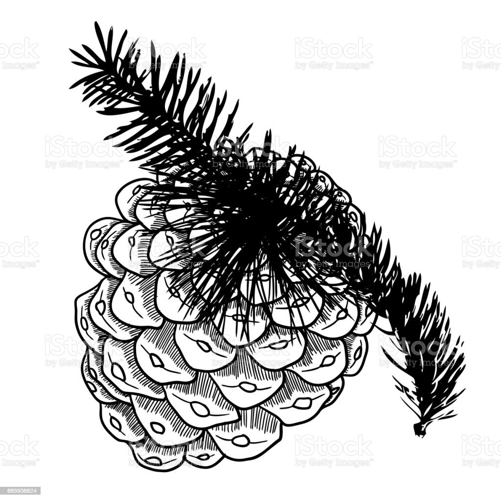 Hand Drawing Pine Cone On The Tree Pinecone Drawing On Fir Branch ...