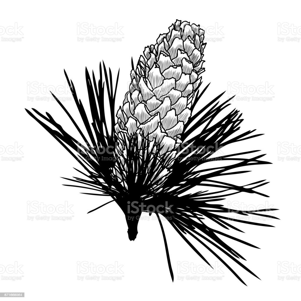 hand drawing pine cone on the tree pinecone drawing on fir branch  hand drawing pine cone on the tree pinecone drawing on fir branch with needles