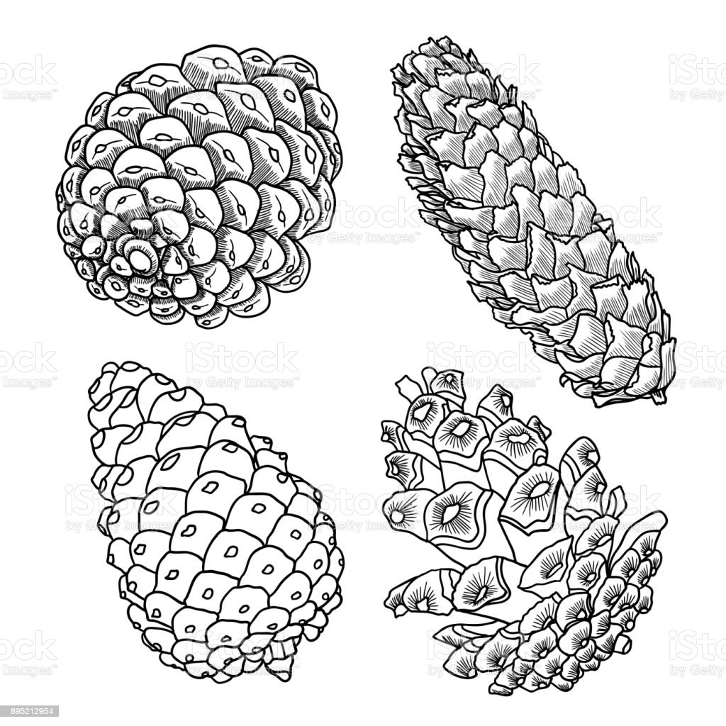Hand Drawing Pine Cone Pinecone Drawing Decoration Of Greeting Cards ...