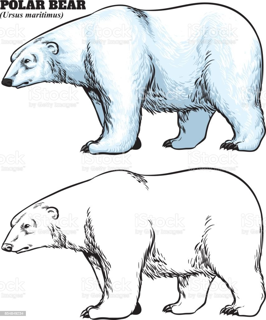 Hand Drawing Style Of Polar Bear Stock Vector Art More