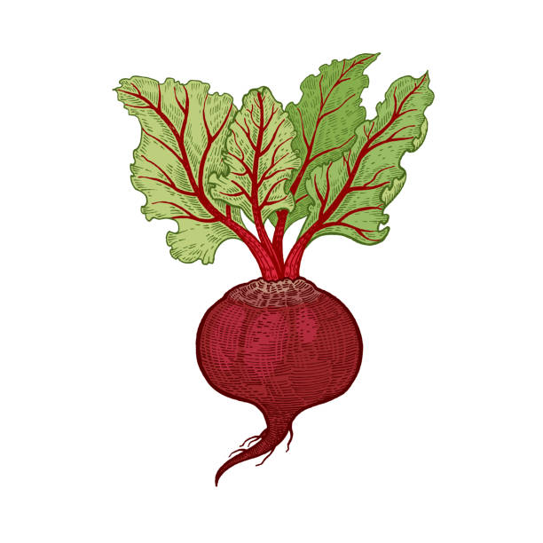 Hand drawing vegetables beets. Vegetables. Beets. Vector illustration. Hand drawing color isolated on white background. beet stock illustrations