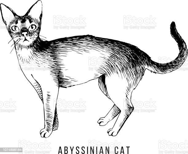 Hand drawn abyssinian cat vector id1074898184?b=1&k=6&m=1074898184&s=612x612&h=leumv9dymeru 0sm1suaxy9w6ntemsdthhxsfi6ysf0=