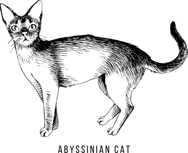 Abyssinian Cat Virginia
