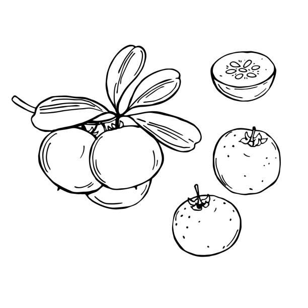ilustraciones, imágenes clip art, dibujos animados e iconos de stock de frutas africanas dibujadas a mano. manzana kei.  ilustración de boceto vectorial. - conceptos y temas