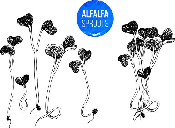 illustrazioni stock, clip art, cartoni animati e icone di tendenza di hand drawn alfalfa sprouts - kai wah-rei - erba medica