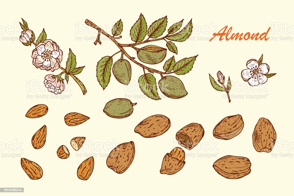 Hand drawn Almonds set: Branches with leaves and immature fruit. Blossoming almond. Nuts and kernels. Vector illustration. vector art illustration