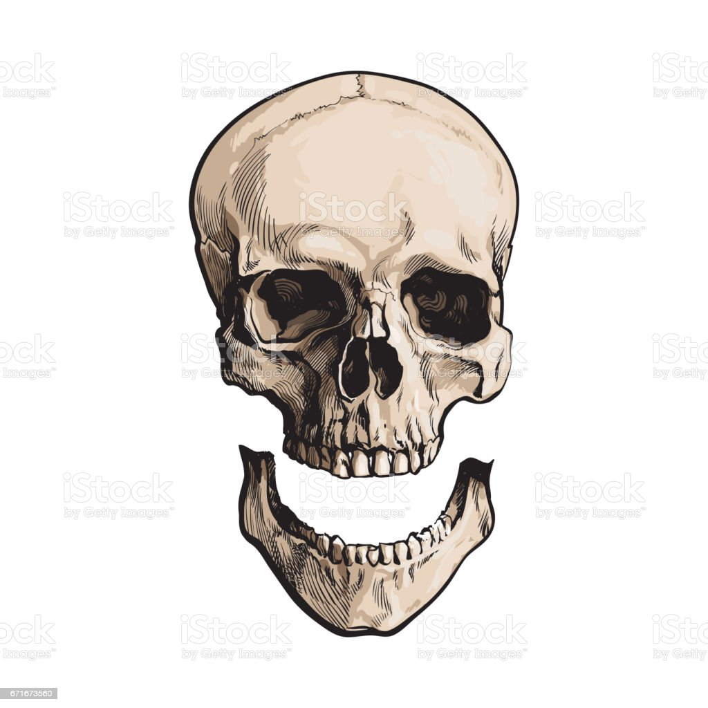Hand Drawn Anatomical Human Skull With Separated Lower Jaw Jawbone ...