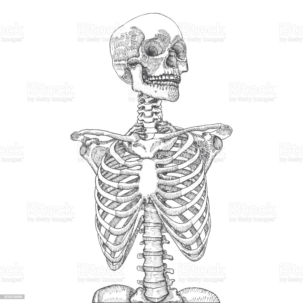 Hand Drawn Anatomical Medical Human Ribcage With Skull On White ...