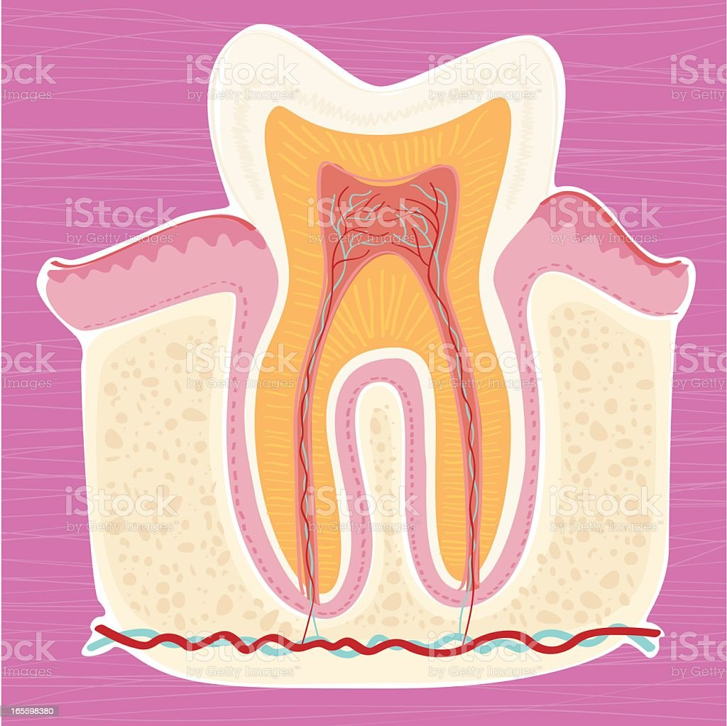Hand drawn anatomy of a tooth vector art illustration