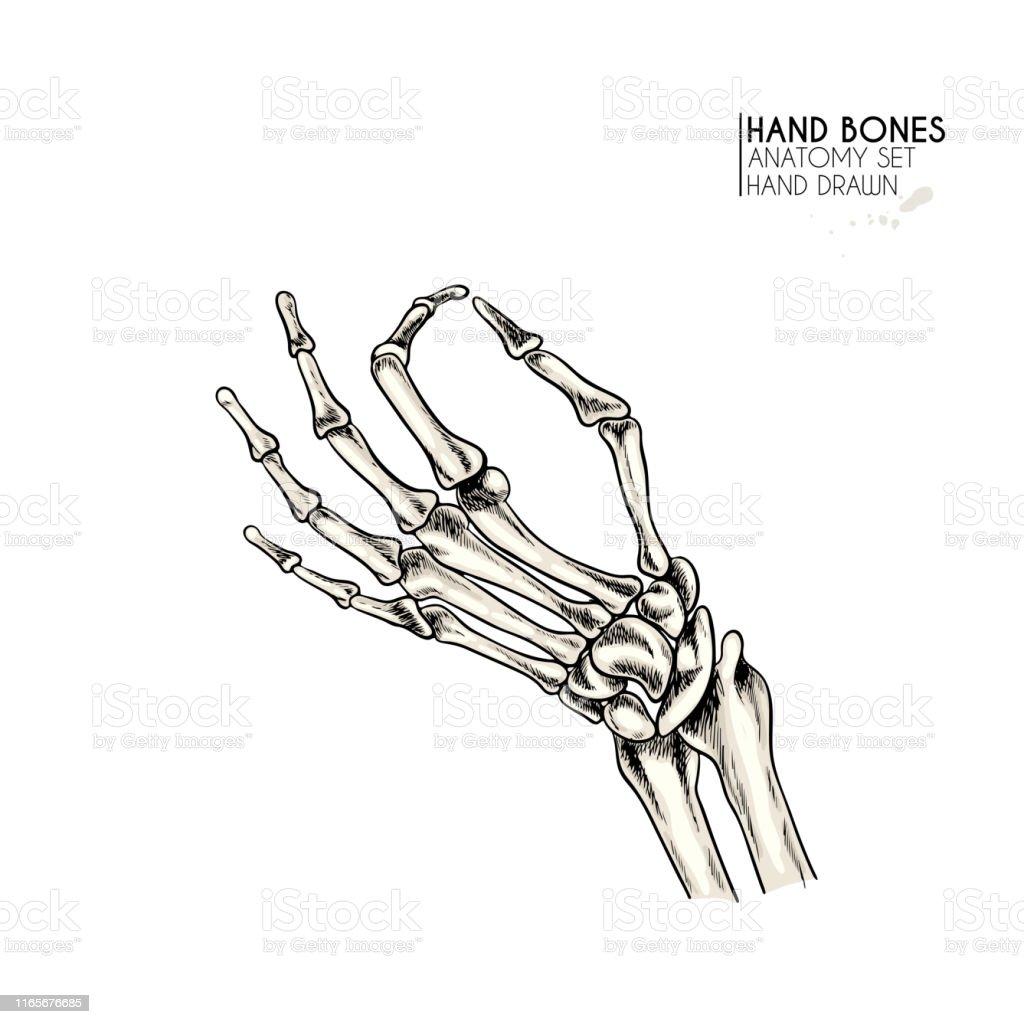 Hand drawn anatomy set. Vector human body parts, bones. Hand gesture...