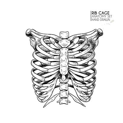 Hand drawn anatomy set. Vector human body parts, bones. Rib cage or chest bones. Vintage medicinal illustration. Use for Haloween poster, medical atlas, science realistic image.
