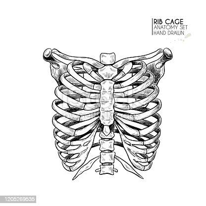 istock Hand drawn anatomy set. Vector human body parts, bones. Rib cage or chest bones. Vintage medicinal illustration. Use for Haloween poster, medical atlas, science realistic image. 1205269535