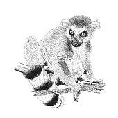 Hand drawn and sketched animal Lemur catta, vector illustration vintage