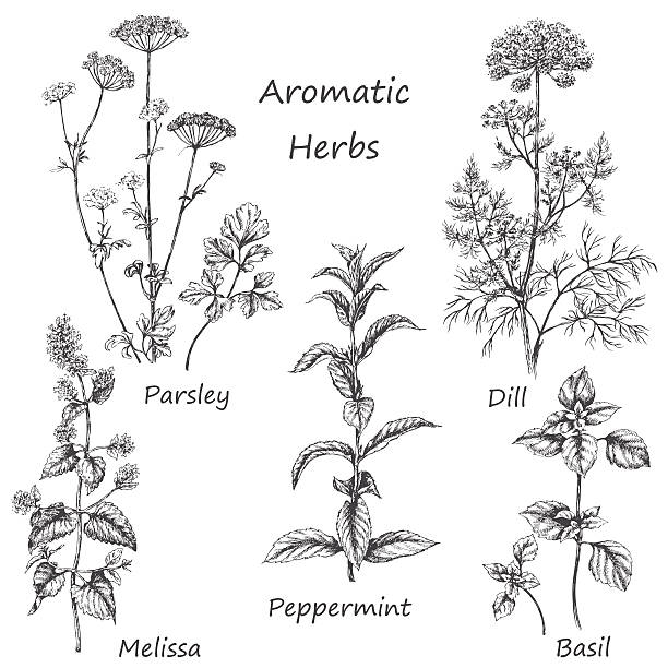 hand drawn aromatic herbs. - pfefferminze stock-grafiken, -clipart, -cartoons und -symbole
