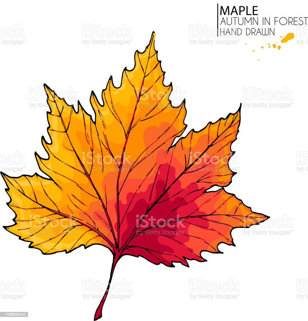 Hand Drawn Autumn Leaves Vector Isolated Colorful Icon Of Maple Tree Fall Forest Folliage Park Seasonal Colored Plants Wedding Decorations Greeting