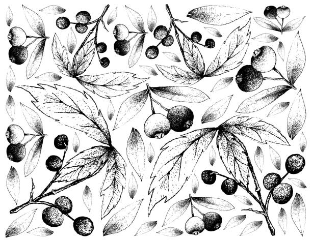 Hand Drawn Background of Allophylus Edulis and Brush Cherries Berry Fruit, Illustration Wallpaper Background of Hand Drawn Sketch of Brush Cherry or Syzygium Australe and Allophylus Edulis or Chal-Chal Fruits. fruta stock illustrations